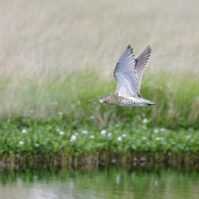 """Eurasian Curlew wader (Numenius arquata) flying, in flight low over pond bog..."" stock image"