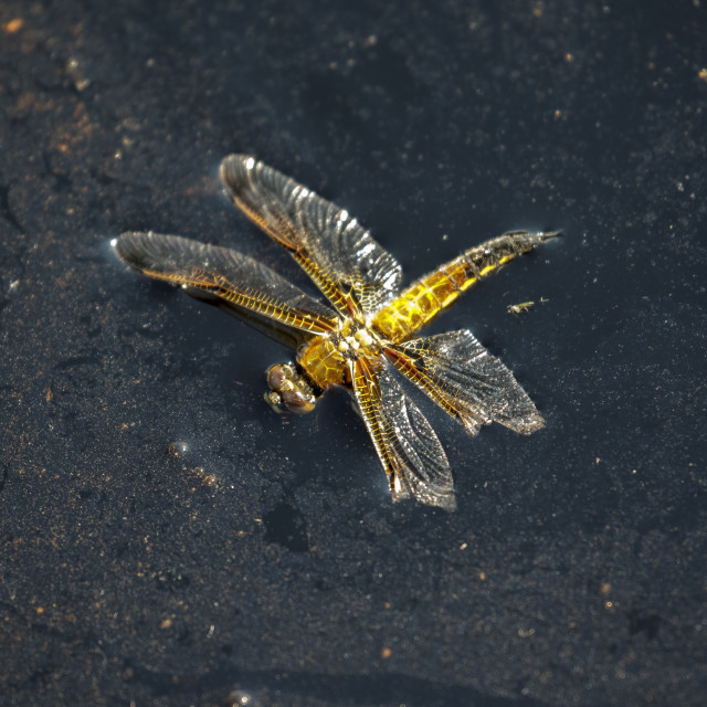 """""""Dead Four-spotted Chaser dragonfly insect (Libellula quadrimaculata) floating..."""" stock image"""