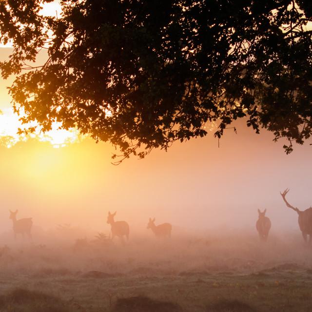 """Silhouette of Red Deer (Cervus elaphus) stag gathering or herding his hareem..."" stock image"