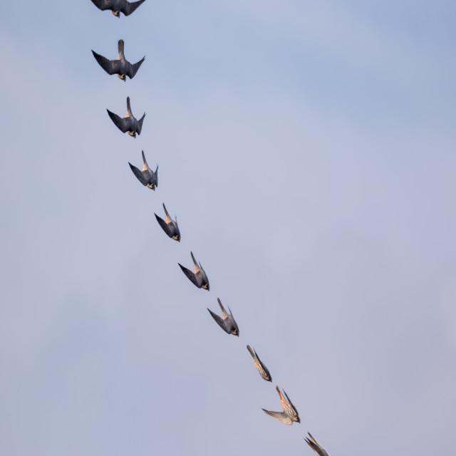 """""""Eurasian Hobby falcon (Falco subbuteo) flying, in flight, stoop stooping..."""" stock image"""