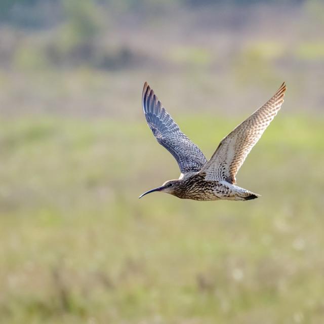 """Eurasian Curlew (Numenius arquata) flying, in flight low across sunny..."" stock image"