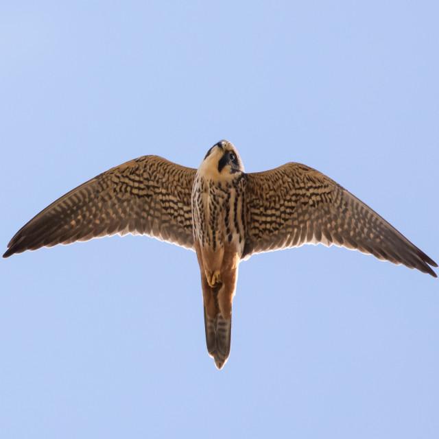 """""""Close-up of adult Eurasian Hobby falcon (Falco subbuteo) flying, in flight..."""" stock image"""