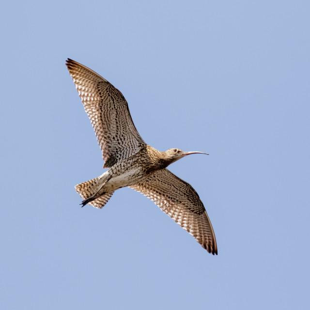 """Eurasian Curlew (Numenius arquata) underside flying, in flight high overhead..."" stock image"