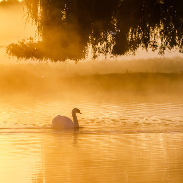 """Silhouette of a single Mute Swan (Cygnus olor) on a calm peacful misty foggy..."" stock image"