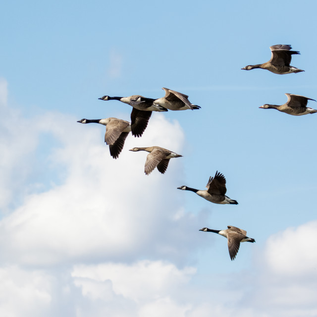 """""""Group or gaggle of Canada Geese (Branta canadensis) flying, in flight against..."""" stock image"""