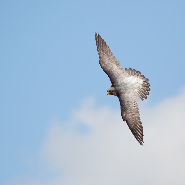 """""""Top view of Peregrine falcon (Falco peregrinus) banking flying against blue..."""" stock image"""