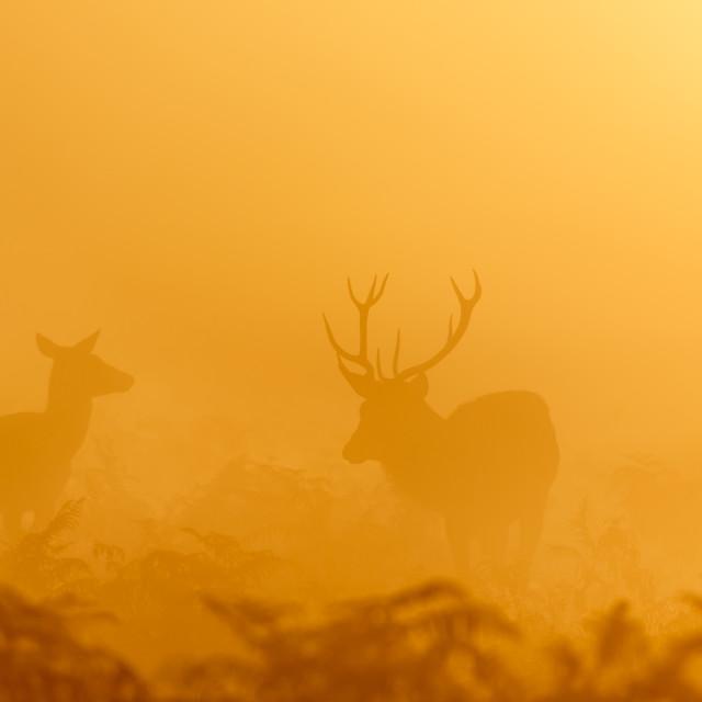 """Red Deer rut stag (Cervus elaphus) rounding up female hinds at sunrise"" stock image"