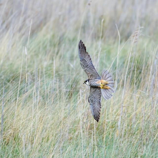 """""""Eurasian Hobby falcon (Falco subbuteo) flying, in flight, banking hard and..."""" stock image"""