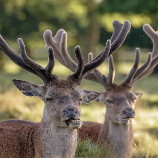 """""""Two Red Deer stags (Cervus elaphus) growing velvet antlers in resting in..."""" stock image"""