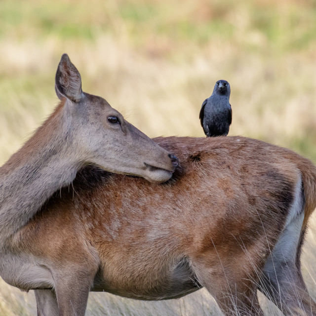 """""""Grooming Red Deer female hind (Cervus elaphus) with jackdaw on back"""" stock image"""