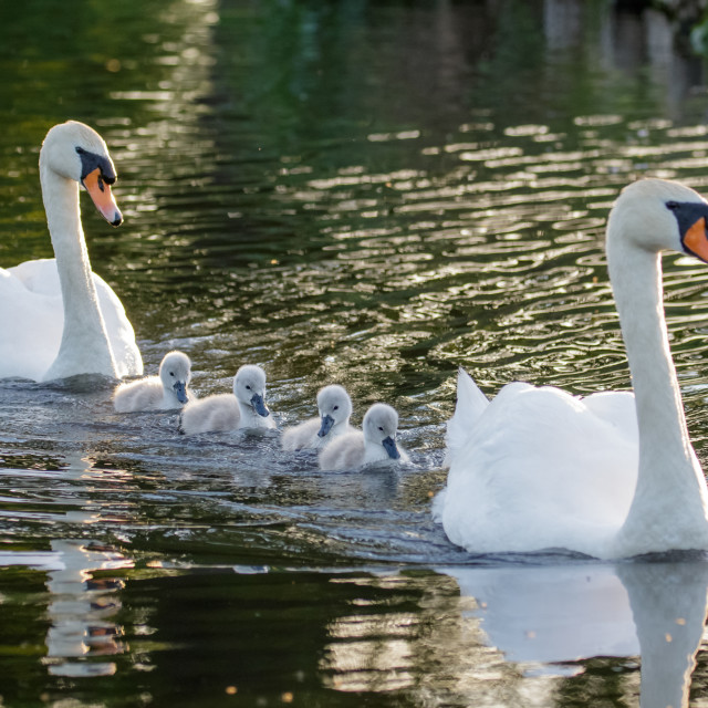 """""""Mute Swan (Cygnus olor) adult and cute fluffy baby cygnets, swimming together..."""" stock image"""