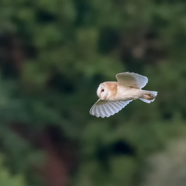 """""""Side view of a single Barn Owl (Tyto alba) flying across green background"""" stock image"""