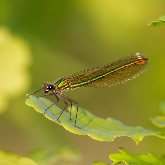 """Closse up of green iridescent female Banded Demoiselle (Calopteryx splendens)..."" stock image"