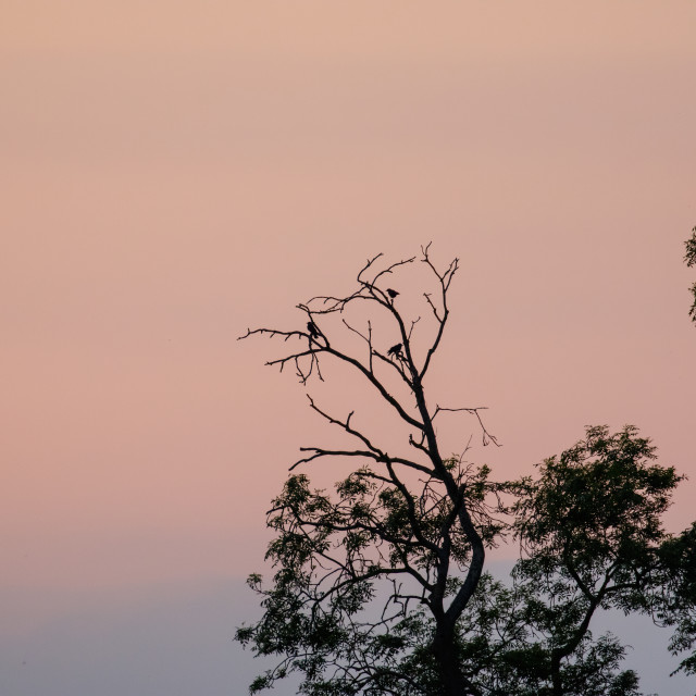 """""""Silhouette of corvid birds roosting in trees at dusk after sunset against..."""" stock image"""