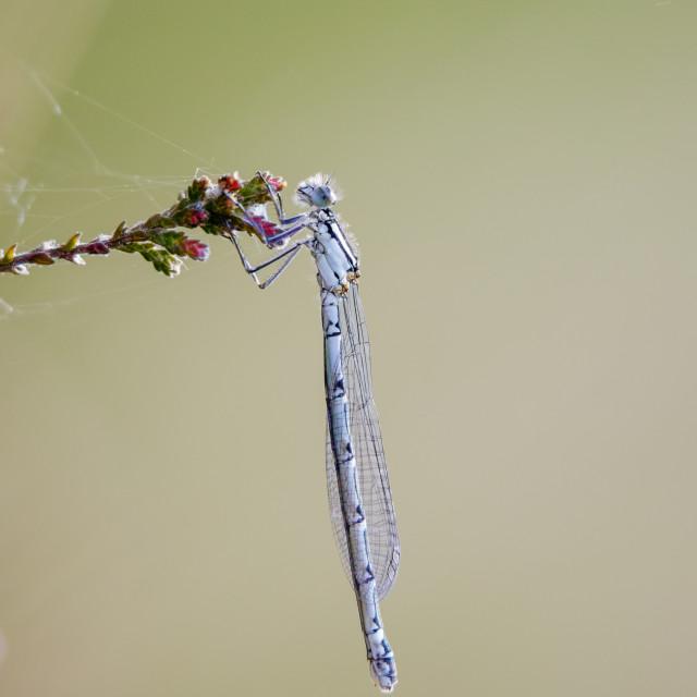 """Female Common Blue damselfly (Enallagma cyathigerum) hanging from a flowering..."" stock image"