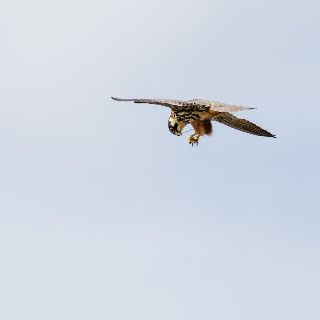 """Hobby falcon (Falco subbuteo) dismembering eating feeding on chaser dragonfly..."" stock image"