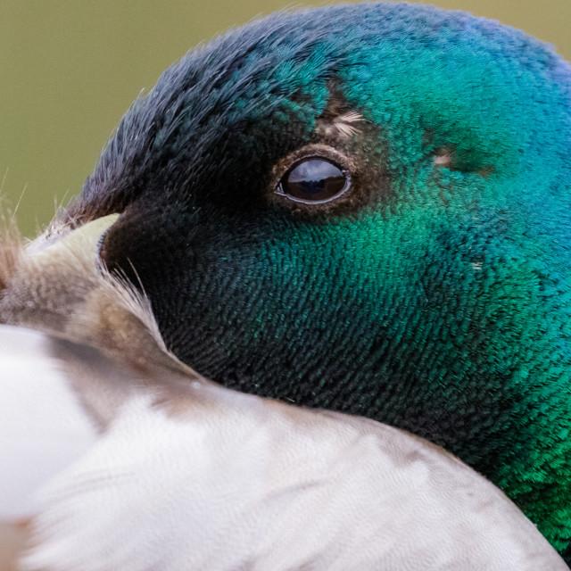 """Close-up portrait of male Mallard duck (Anas platyrhynchos) in breeding plumage"" stock image"