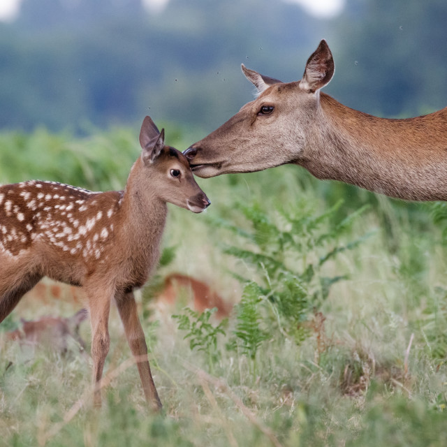 """""""Red deer (Cervus elaphus) female hind mother and young baby calf having a..."""" stock image"""