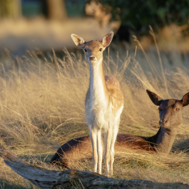 """""""Fallow deer fawn (Dama dama) and mother female Doe behind at sunset"""" stock image"""