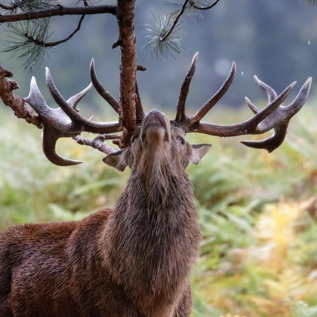 """Red Deer (Cervus elaphus) stag sharpening up his antlers or possibly marking..."" stock image"