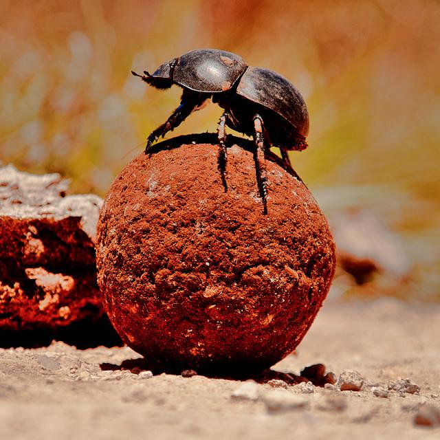 """Dung Beetle"" stock image"