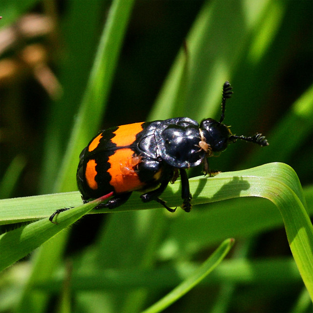 """Carrion Beetle"" stock image"