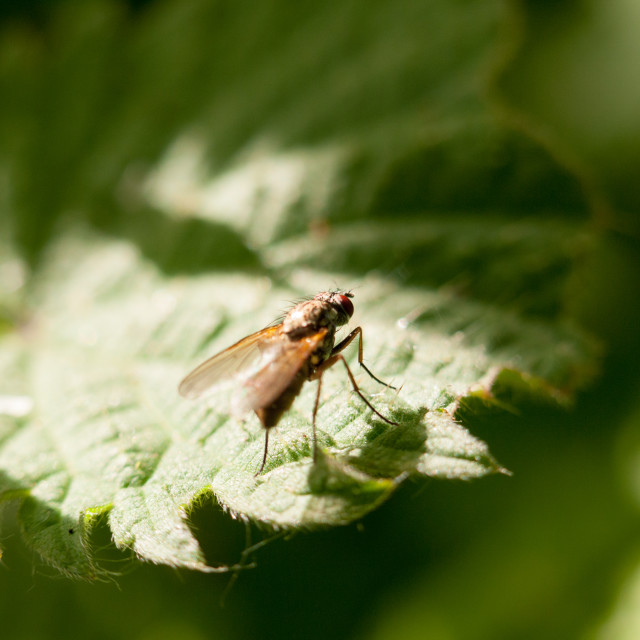 """""""a fly resting at the edge of a leaf outside in spring meadow in late..."""" stock image"""