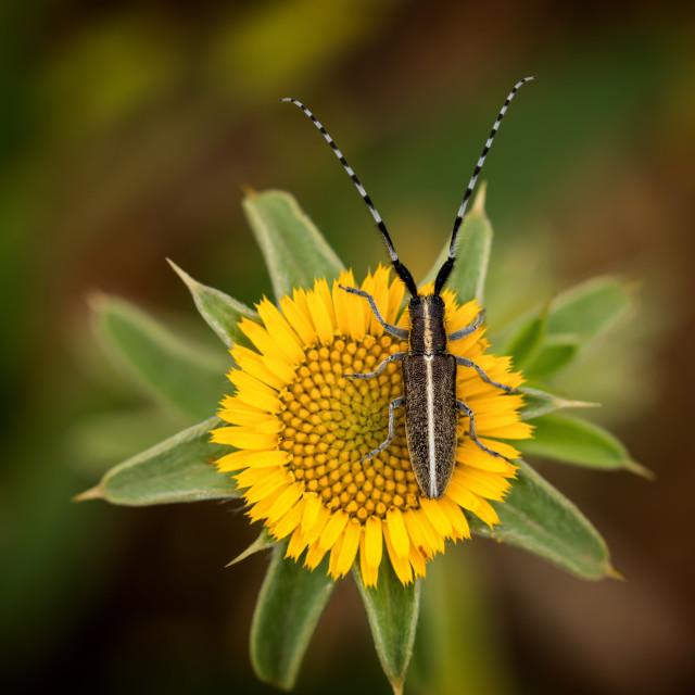 """Flat-faced longhorn beetle (Agapanthia cardui)"" stock image"