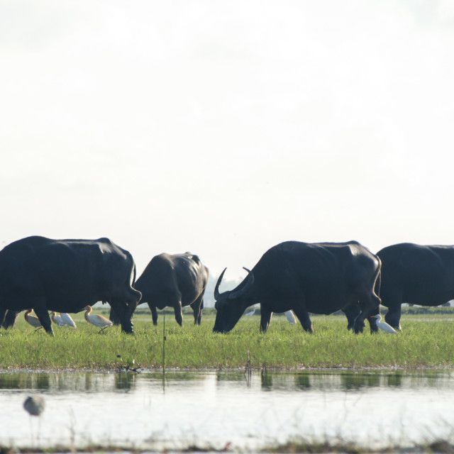 """The Buffaloes"" stock image"