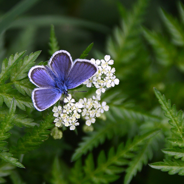 """Butterfly Blue"" stock image"