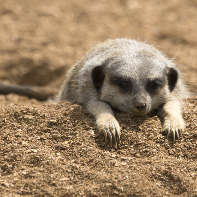 """Cute, sleeping Meerkat"" stock image"