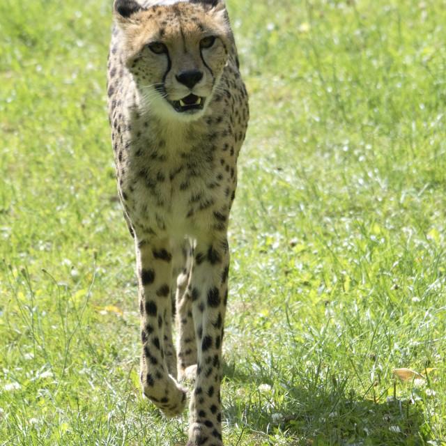 """Strolling Cheetah"" stock image"