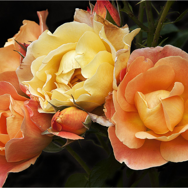 """Peach Roses"" stock image"