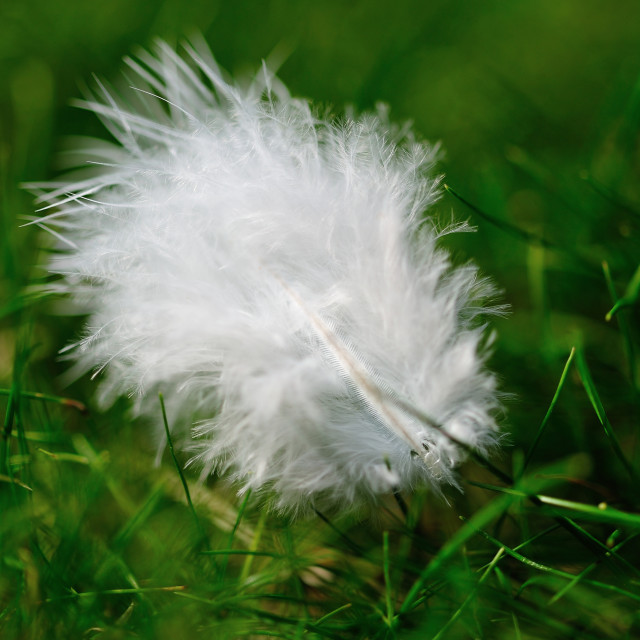 """Delicate feather on grass"" stock image"