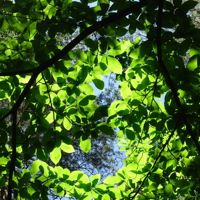"""Sunshine through the forest canopy"" stock image"