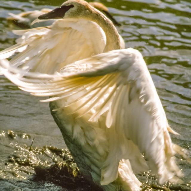 """Aggresive Swan"" stock image"