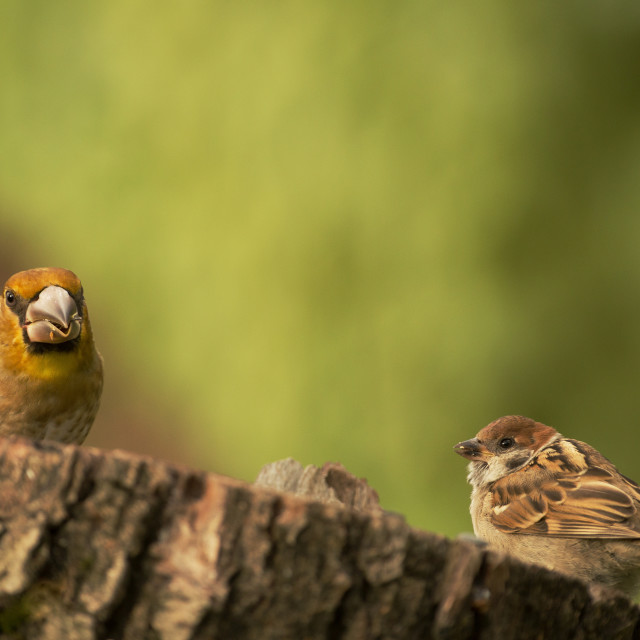 """Young Hawfinch and young Tree sparrow on the tree trunk"" stock image"