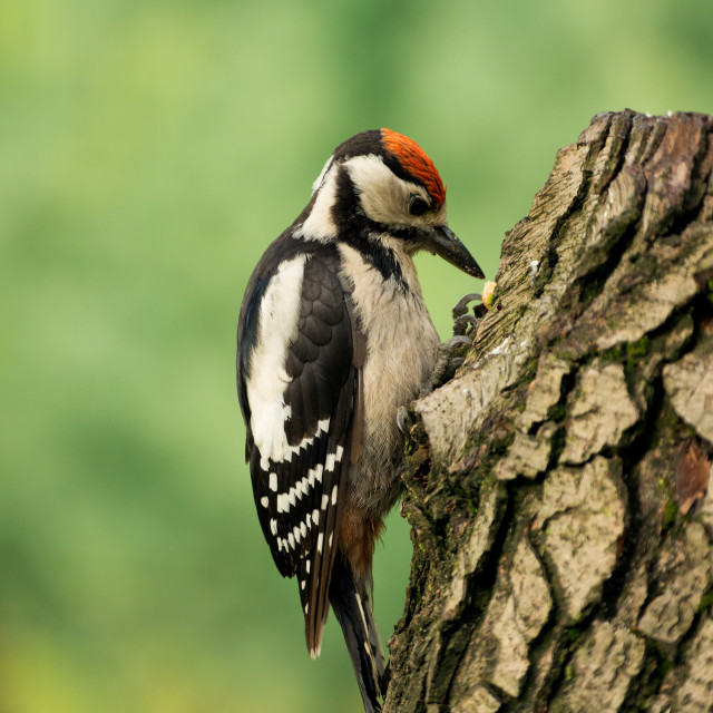 """Young Greatter spotted woodpecker (Dendrocopos major)"" stock image"
