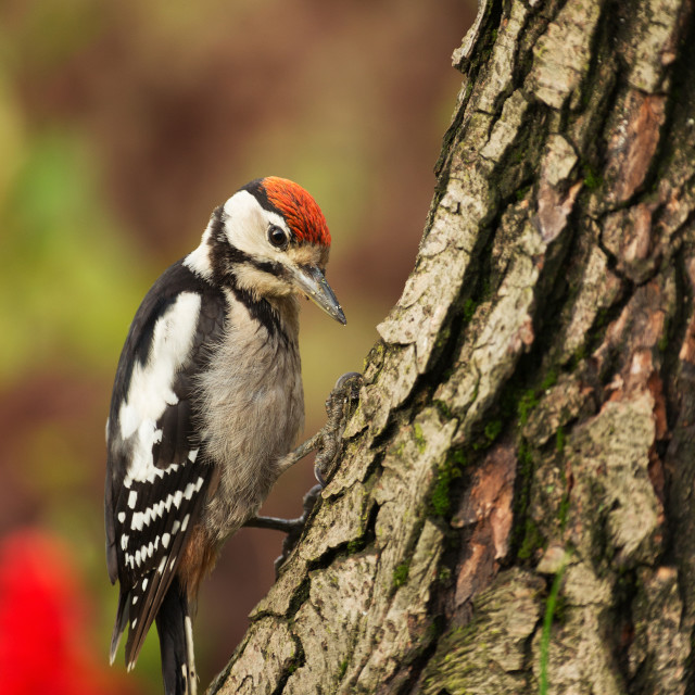 """Young Greater Spotted Woodpecker looking for insects on a tree t"" stock image"