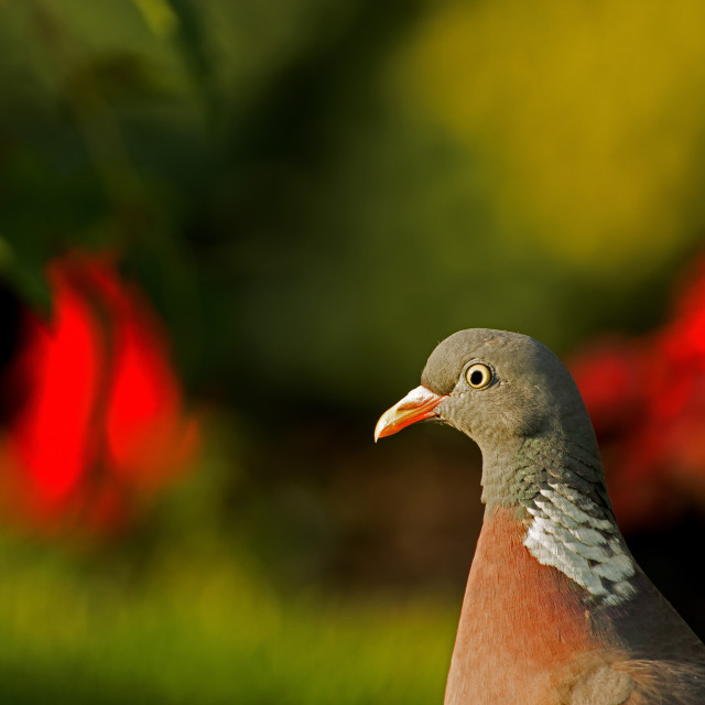 """Portrait of Wood pigeon (Columba palumbus) in summer"" stock image"