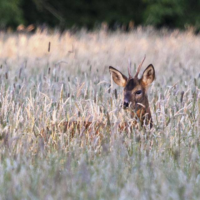 """""""European Roe Deer Capreolus Capreolus in Late Eveing Light, Tees"""" stock image"""
