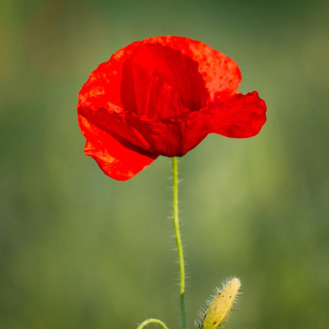 """Close up of poppy flower"" stock image"