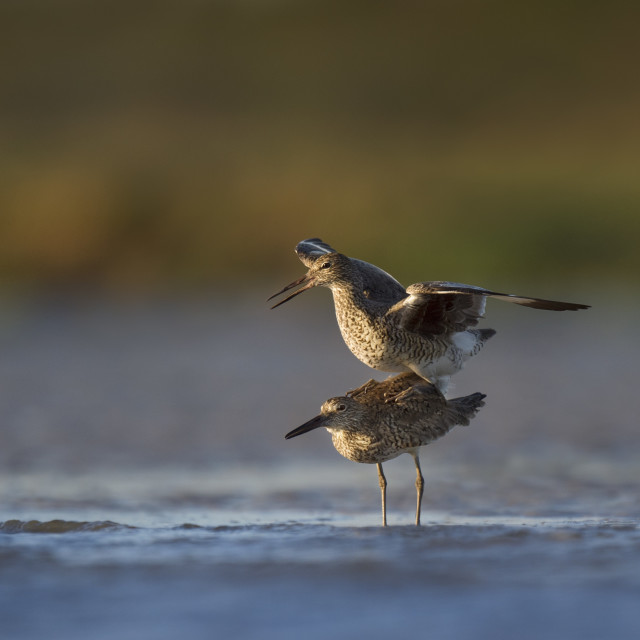"""""""Mating Willet Pair"""" stock image"""