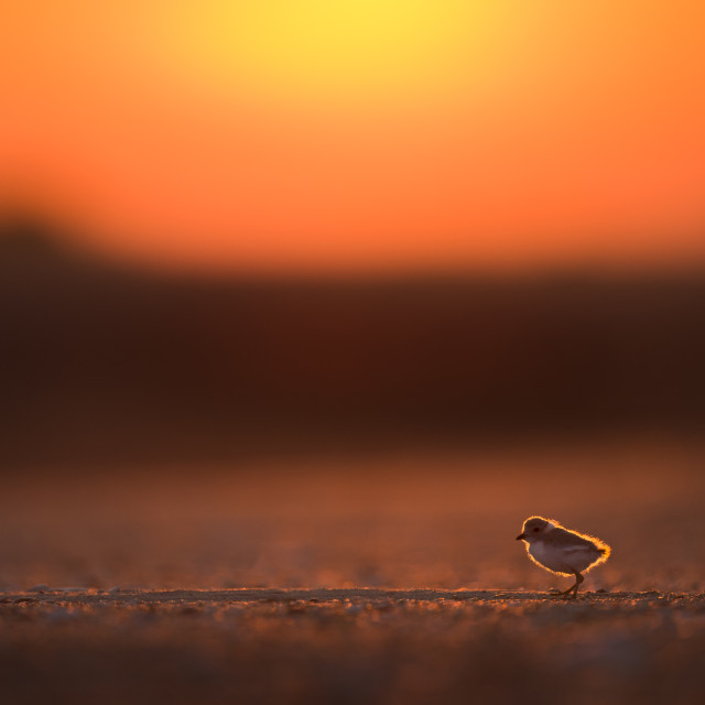 """""""Piping Plover Chick at Sunrise"""" stock image"""
