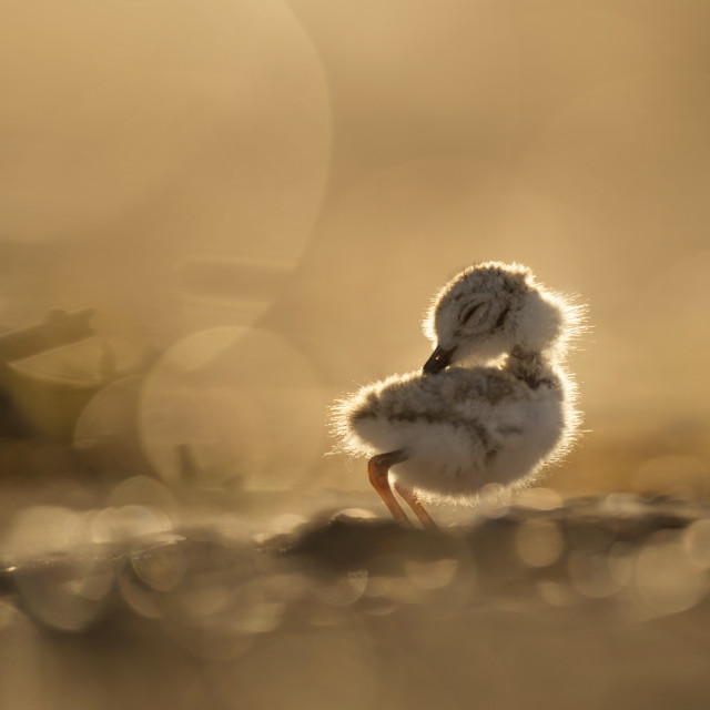 """""""Preening Piping Plover Chick"""" stock image"""