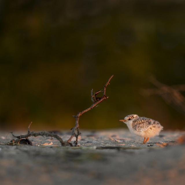 """Tern Chick as Sunrise"" stock image"
