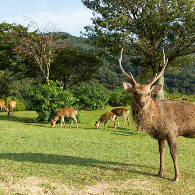 """""""Duck Nara deer"""" stock image"""