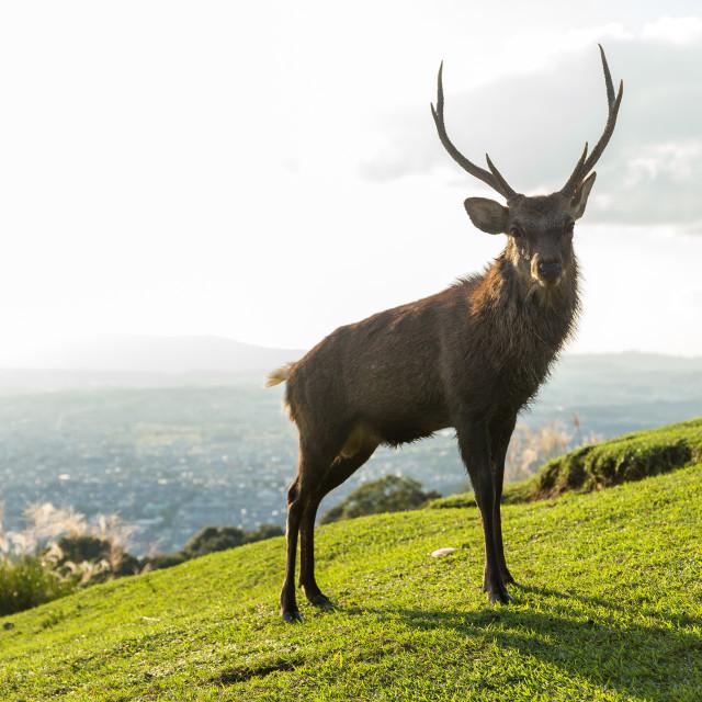 """Doe Deer"" stock image"