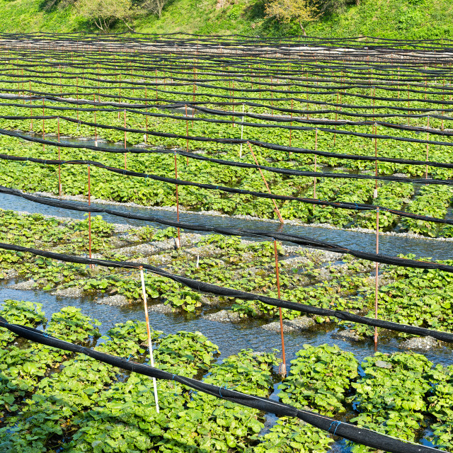 """Wasabi plant in farm"" stock image"
