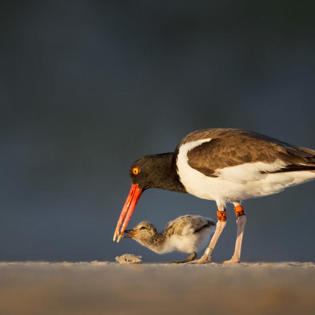 """Feeding Oystercatcher Chick"" stock image"